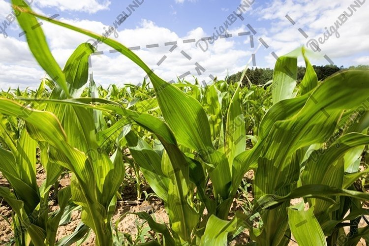 green leaves of corn example image 1