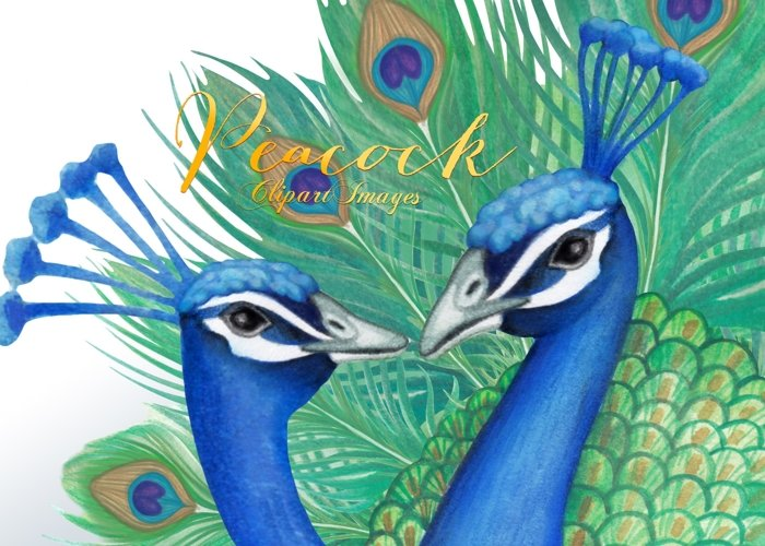 Watercolor Peacock Clipart Images by Whimseez