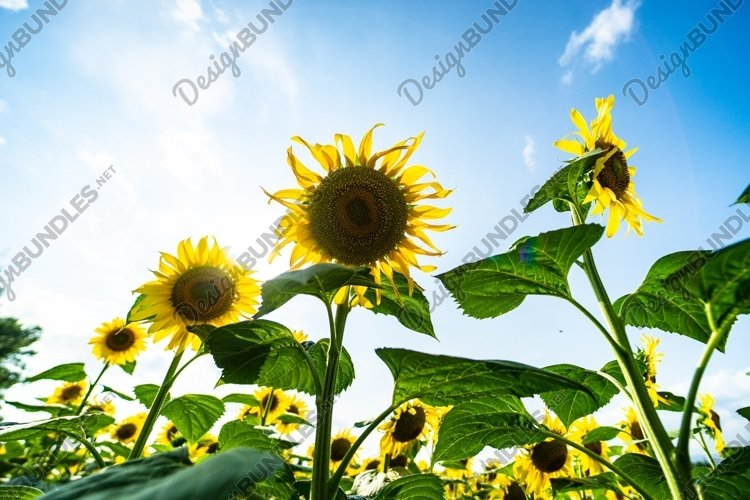 Blooming sunflowers in a field in the raining day example image 1