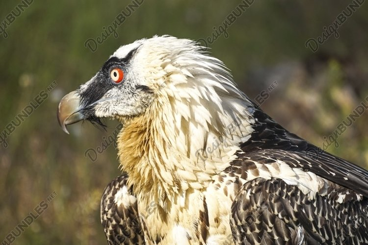 Portrait of a large bird of prey on a natural background example image 1