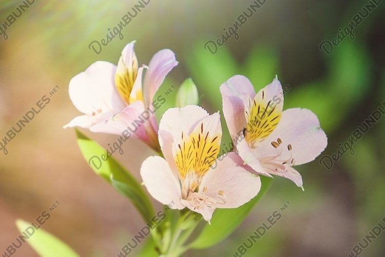 pink alstrameria flowers on a blurred light background. example image 1