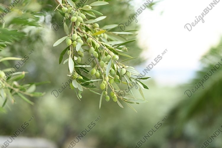 green olives grow on a olive tree branch in the garden
