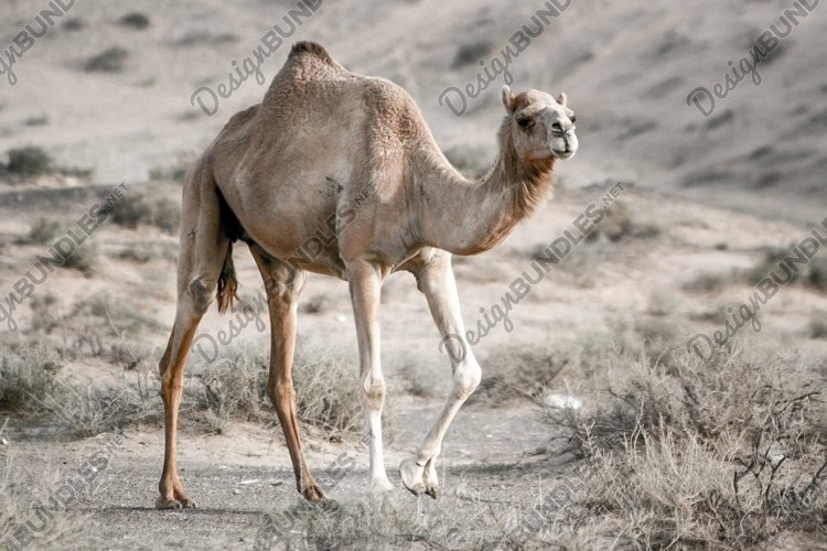 Stock Photo - Camel example image 1