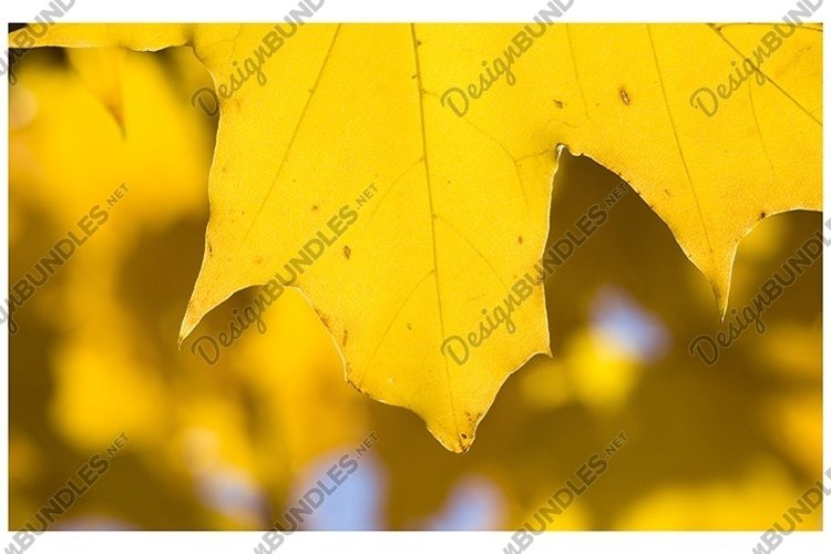 a large number of yellow maple leaves example image 1