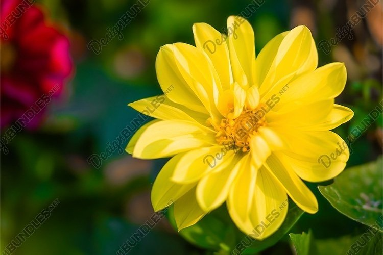 Stock Photo - flowering yellow dahlias in the garden example image 1