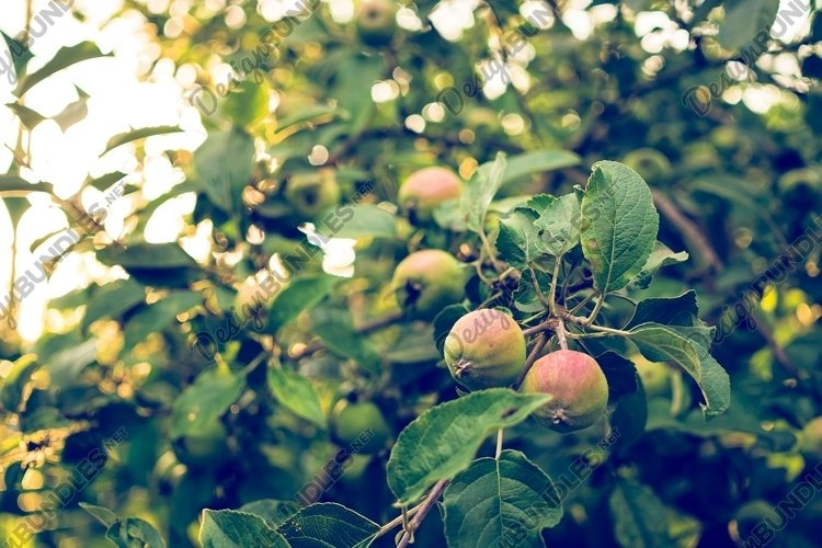 Country autumn landscape. Apple garden and sunny evening example image 1