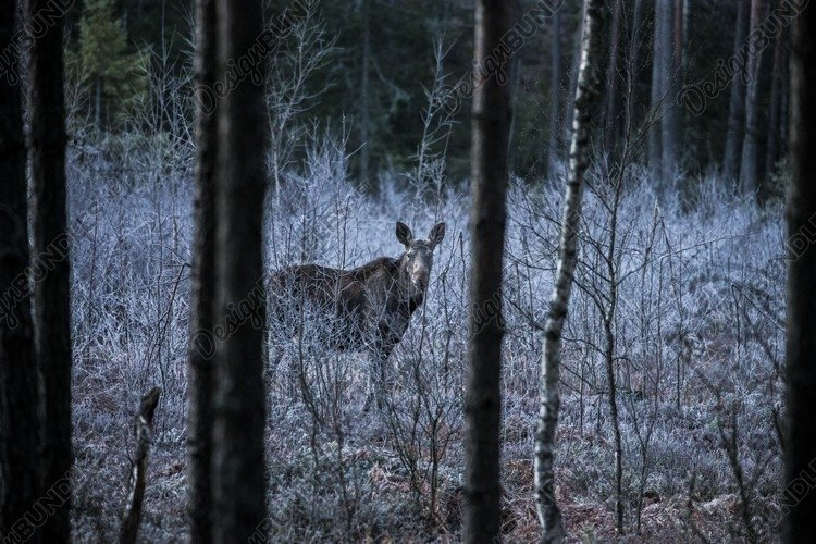Moose or Eurasian elk, Alces alces in the dark forest example image 1