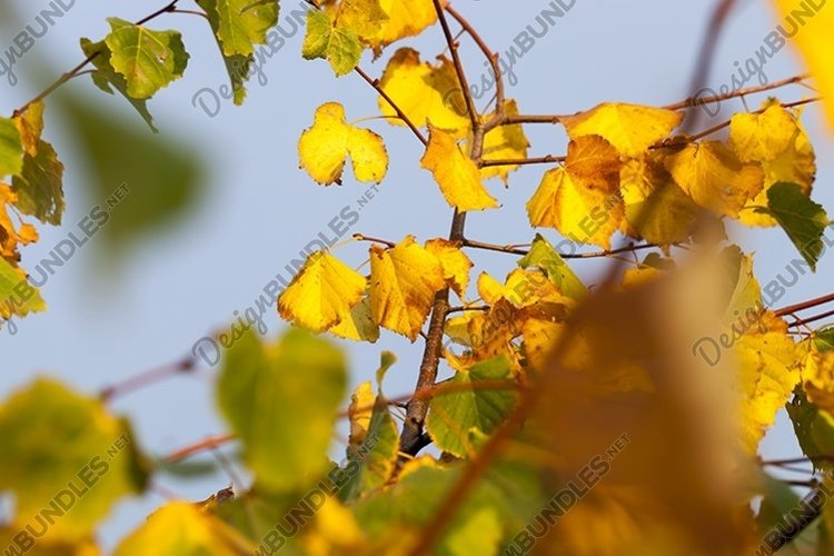 Linden tree in the autumn example image 1