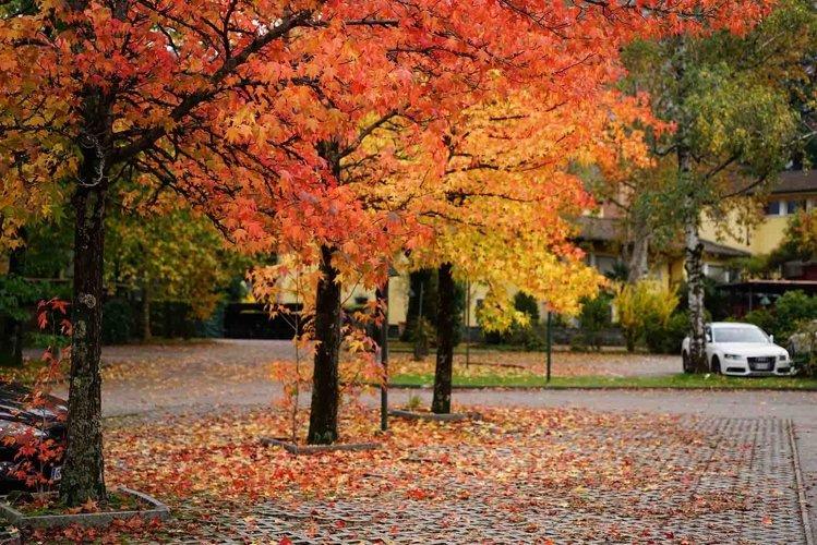 Autumn maple trees example image 1