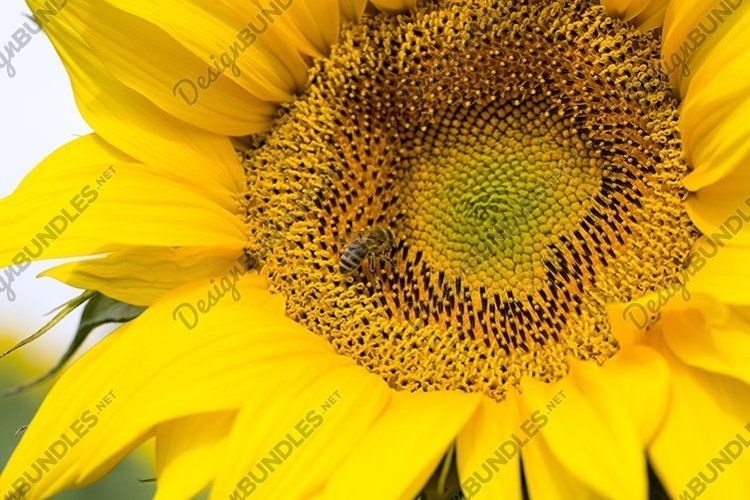 annual sunflower open Bud example image 1