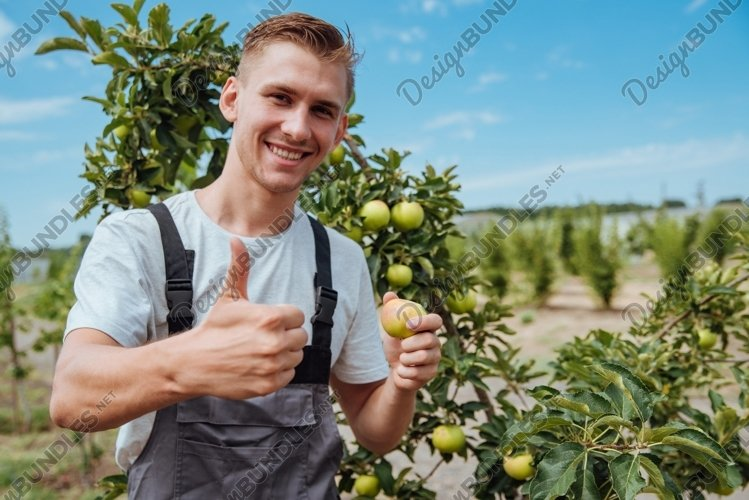 A male farmer picks apples in the garden example image 1