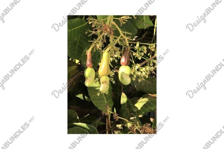 Photo of Fruit of Cashew Tree Anacardium Occidentale example image 1