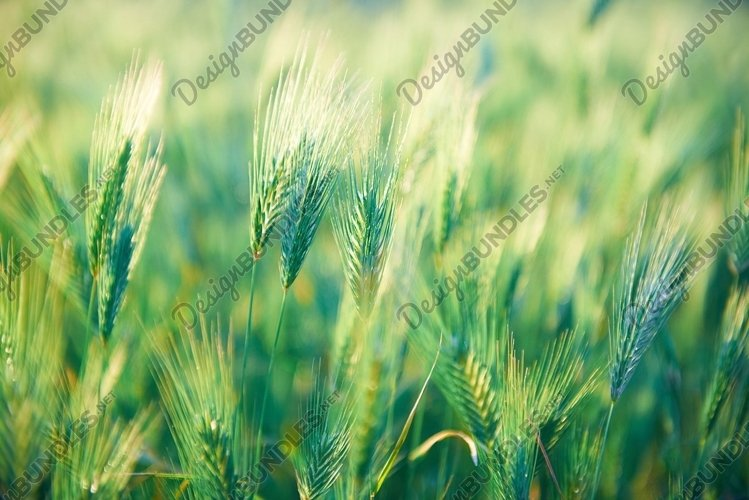 Field of green grass on sunset. Nature background example image 1