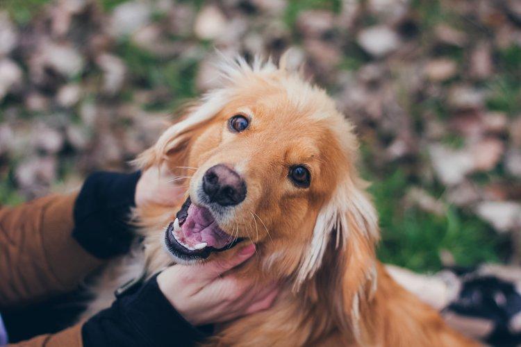 Portrait of a golden retriever dog smile