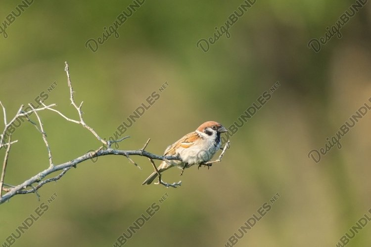 Passer domesticus on a branch example image 1