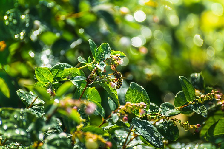 Stock Photo - Snowberry in drops of water after a rain example image 1