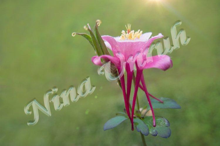 Flower of pink Aquilegia vulgaris/formosa of Ranunculaceae example image 1