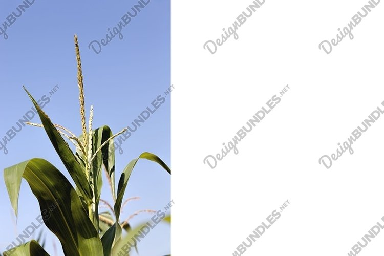 agricultural field where sweet corn is grown example image 1