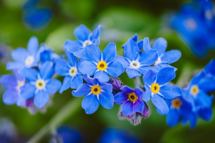 Forget me not photo 2