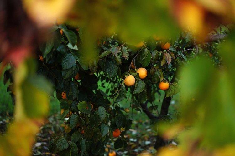 A persimmon tree in a garden