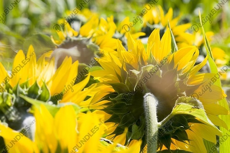 large number of yellow sunflowers example image 1