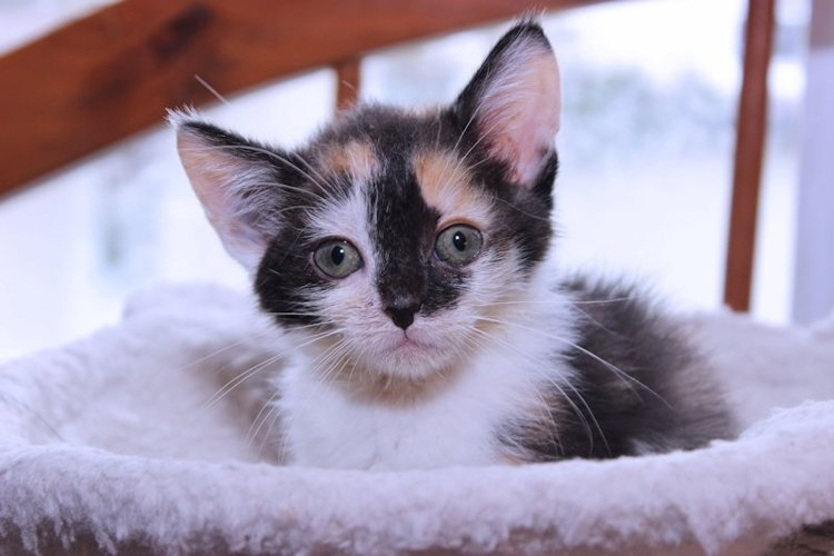 CUTE CALICO KITTEN example image 1