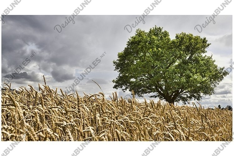 lonely oak growing in a field example image 1