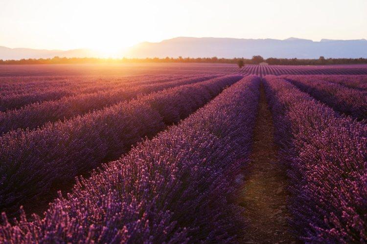 Dawn in a beautiful lavender field in Provence
