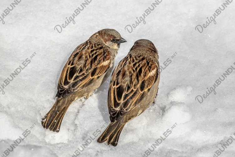 A pair of sparrows sits on the white snow