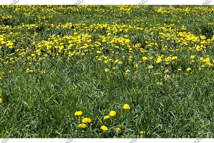 field with dandelions example image 1
