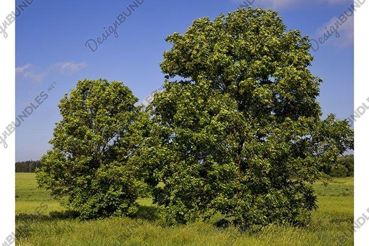 beautiful maple example image 1