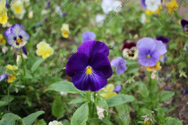 flowers pansies in the garden example image 1