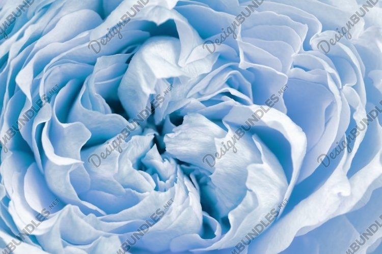Flowers of peony roses, blue color, natural background example image 1