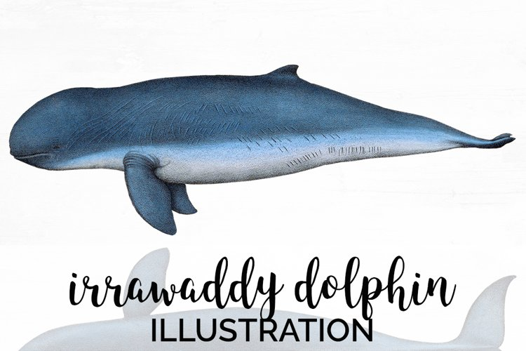 Dolphin Clipart example image 1