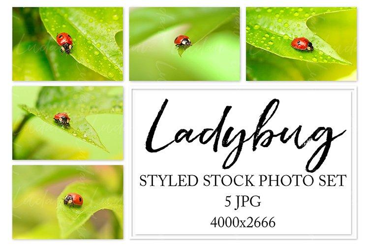 Ladybug. Styled stock photo set. example image 1