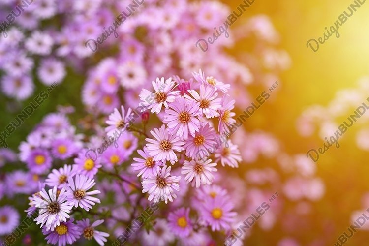 pink autumn flowers Aster novi-belgii in full bloom. flare example image 1