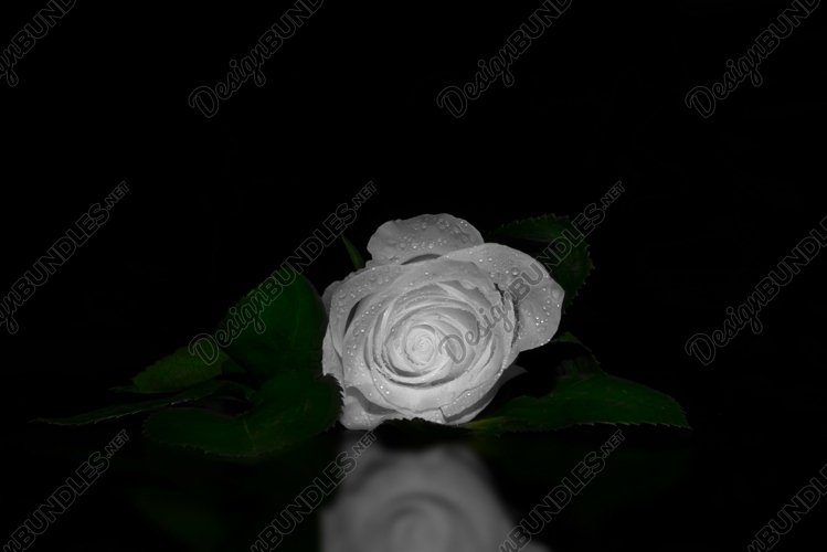 A close up macro shot of a white rose