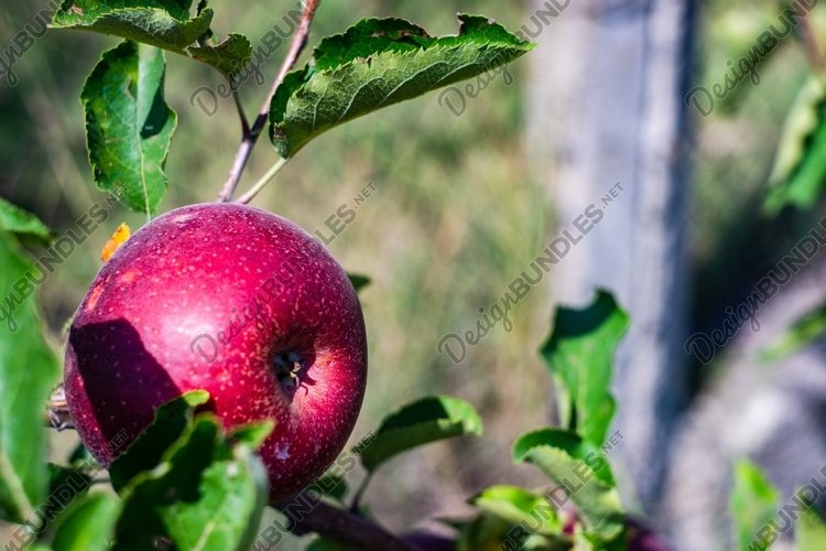 Apple fruit on a tree example image 1