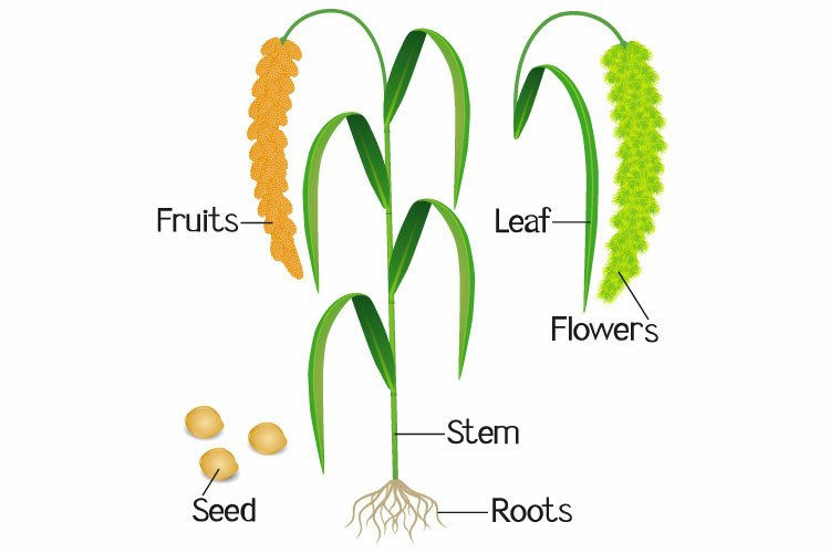 Parts of foxtail millet plant on a white background. example image 1