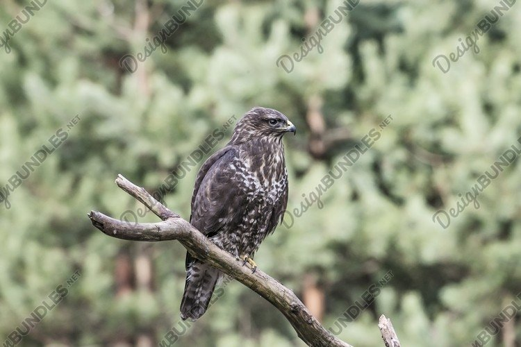 predator hawk buteo buteo sits on a ground in forest example image 1