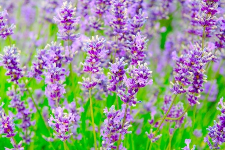 Selective focus on lavender flower in flower garden. example image 1