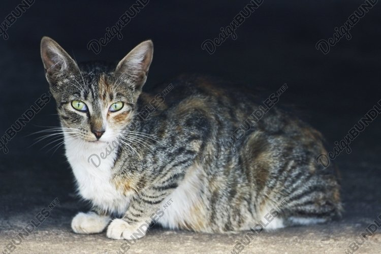 The tricolor cat is lying on the road. example image 1