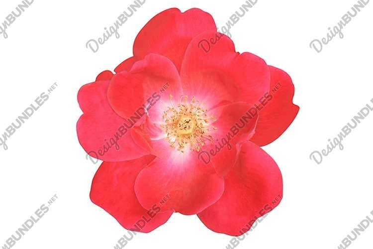 Stock Photo - Flower of the rose on white background. example image 1