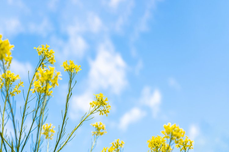Yellow rapeseed on a blue background. Sky. The clouds.