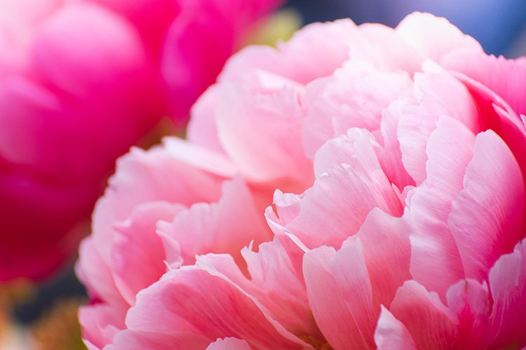 Stock Photo - Pink peony flower close up example image 1