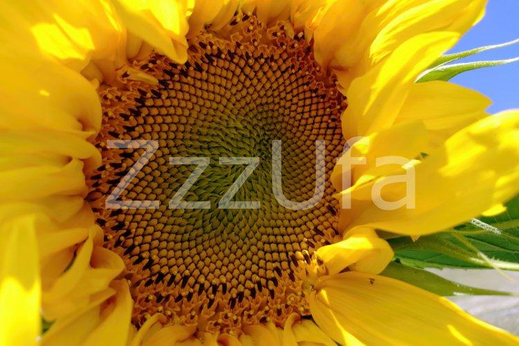 Sunflower Pack, set of 2 photo