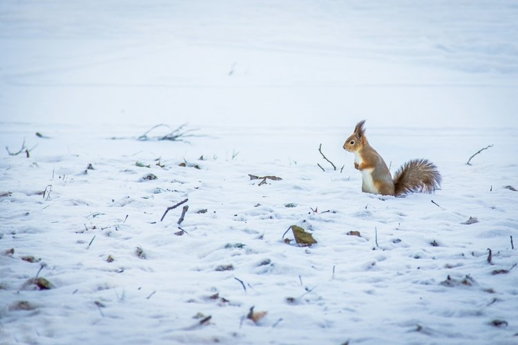 red squirrel on snow example image 1