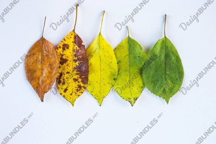 colorful autumn leaves on a white background. color gradien example image 1