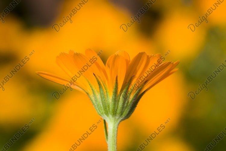 orange calendula flowers example image 1