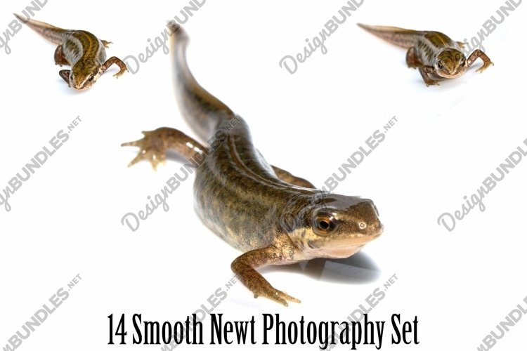 Smooth Newt 14 Photographs in Different Angles JPG example image 1